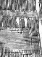 THEACEAE Gordonia excelsa