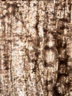 ANACARDIACEAE Pistacioxylon leilaoensis