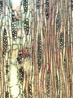BIGNONIACEAE Catalpa longissima