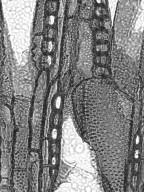 BIGNONIACEAE Crescentia alata