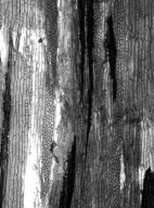 BIGNONIACEAE Amphilophium crucigerum