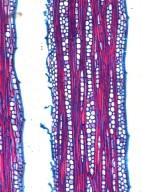 BIGNONIACEAE Callichlamys latifolia