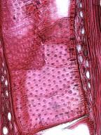 BIGNONIACEAE Heterophragma sulfureum