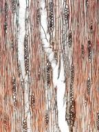 BIGNONIACEAE Radermachera gigantea
