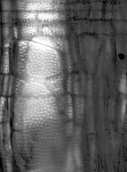 BIGNONIACEAE Podranea ricasoliana