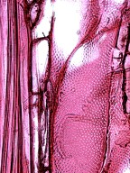 BIGNONIACEAE Radermachera pinnata