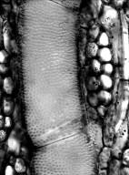 BIGNONIACEAE Tabebuia aurea