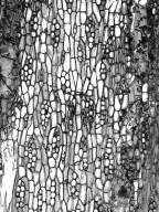 BIGNONIACEAE Tabebuia cassinoides
