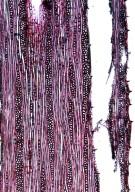 BIGNONIACEAE Tanaecium duckei