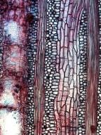 BIGNONIACEAE Xylophragma pratense