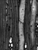 BIGNONIACEAE Tecoma capensis
