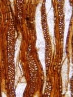 FAMILY? Chadronoxylon florissantensis