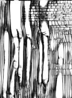 ARALIACEAE Cussonia spicata