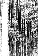 CHRYSOBALANACEAE Hirtella zanzibarica