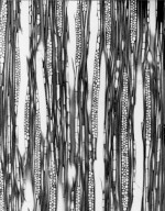 BUXACEAE Didymeles integrifolia