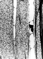 ANISOPHYLLEACEAE Anisophyllea fallax