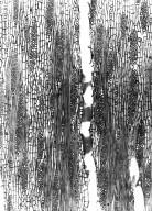 CANNABACEAE Celtis gomphophylla