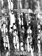 BIGNONIACEAE Ophiocolea comorensis