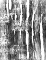 CELASTRACEAE Gymnosporia linearis