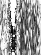 LEGUMINOSAE CAESALPINIOIDEAE Colvillea racemosa