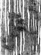 BIXACEAE Diegodendron humbertii