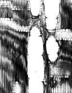 BURSERACEAE Canarium madagascariense