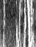 BIGNONIACEAE Phylloctenium bernieri