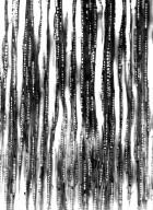 LECYTHIDACEAE Foetidia asymetrica