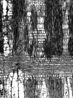 BORAGINACEAE Cordia sinensis