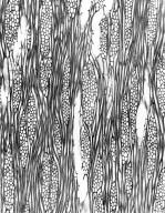 LAMIACEAE Clerodendrum laxiflorum