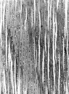 CELASTRACEAE Evonymopsis humberti