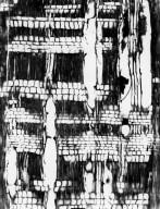 LYTHRACEAE Pemphis acidula