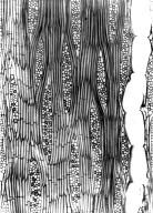 LEGUMINOSAE CAESALPINIOIDEAE Neoapaloxylon madagascariense