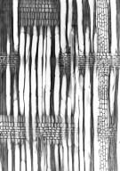 CELASTRACEAE Astrocassine glomerata