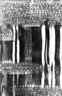 CELASTRACEAE Brexiella cymosa