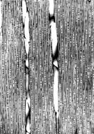 EUPHORBIACEAE Sclerocroton melanostictus