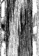 GENTIANACEAE Anthocleista madagascariensis