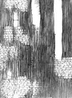 KIRKIACEAE Kirkia leandrii