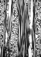 TORRICELLIACEAE Melanophylla crenata