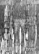 THYMELAEACEAE Stephanodaphne geminata