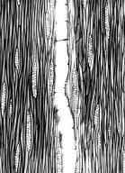 HERNANDIACEAE Gyrocarpus americanus
