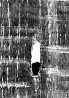 LEGUMINOSAE PAPILIONOIDEAE Dalbergia louvelii