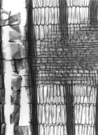 LEGUMINOSAE PAPILIONOIDEAE Erythrina madagascariensis