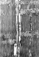LEGUMINOSAE PAPILIONOIDEAE Dicraeopetalum mahafaliense