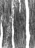 TRIGONIACEAE Humbertiodendron saboureaui