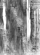 SALICACEAE Bembicia axillaris