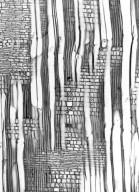 SALICACEAE Bivinia jalbertii