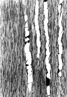 LEGUMINOSAE CAESALPINIOIDEAE Mimosoid Clade Viguieranthus subauriculatus