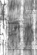 RUTACEAE Melicope fatraina