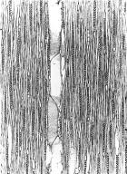 LAURACEAE Cryptocarya agathophylla